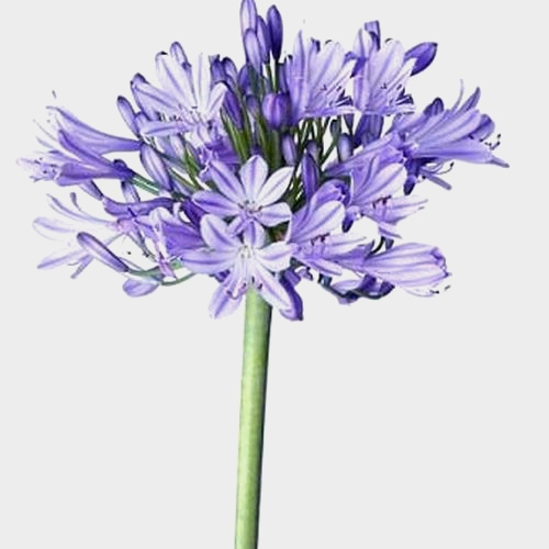 Agapanthus Blue Flowers