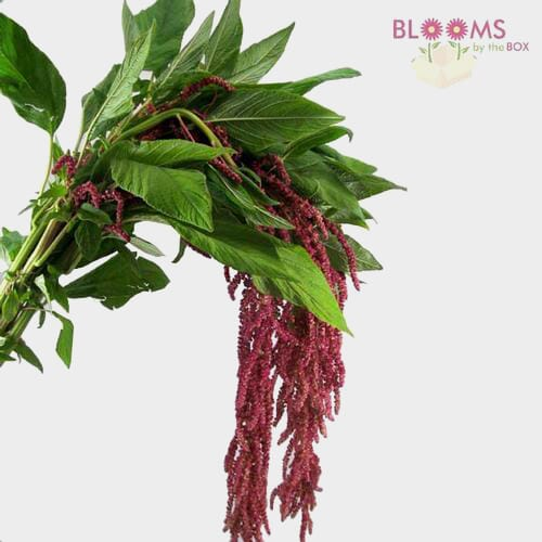 Amaranthus Hanging Red
