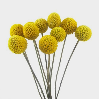 Craspedia Billy Balls Wholesale Blooms By The Box