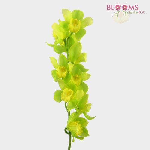 Cymbidium Orchid Spray Green