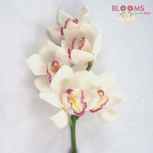 Cymbidium Mini White Flowers
