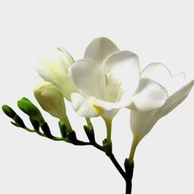 Freesia White Flower Whole
