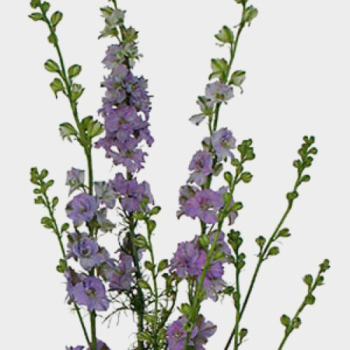 Lavendar Larkspur Flower