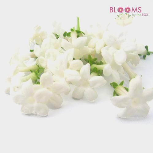 Stephanotis Flower