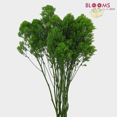Trachelium Green