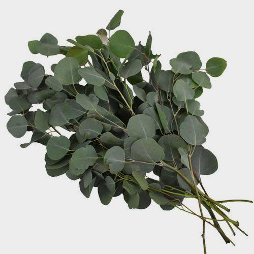 Eucalyptus Silver Dollar Greens