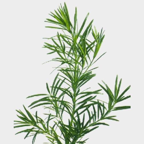 Podocarpus Greens