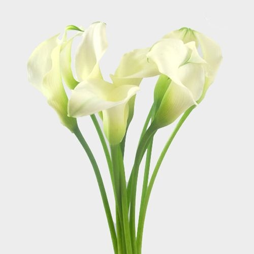 Calla Lily Mini White Flower