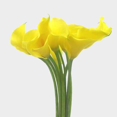 Calla Lily Mini Yellow Flower