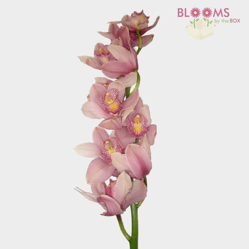 Cymbidium Orchid Spray Pink
