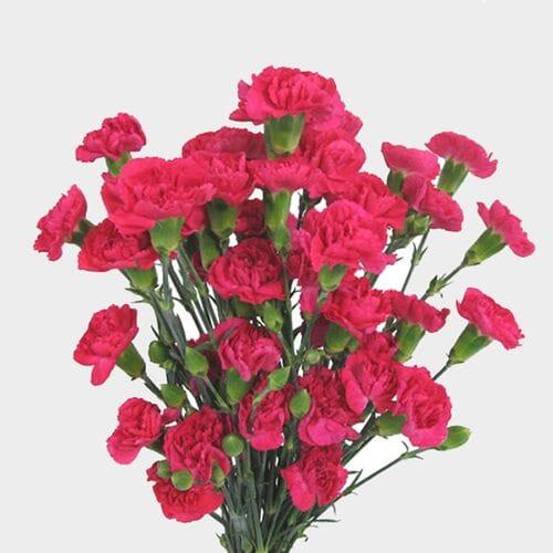 Hot Pink Mini Carnation Flower