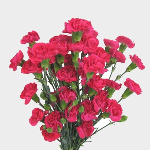 Hot Pink Mini Carnation Flower