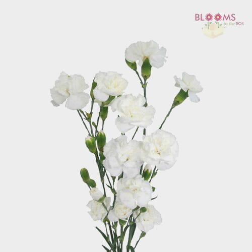 Mini Carnations White
