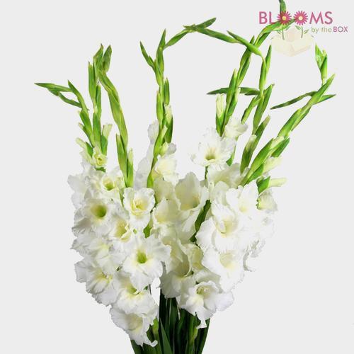 Gladiolus Fancy White Flower