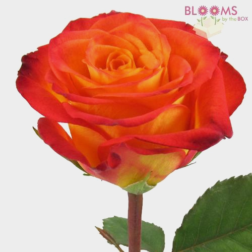 Rose Circus Yellow / Red tips 50cm