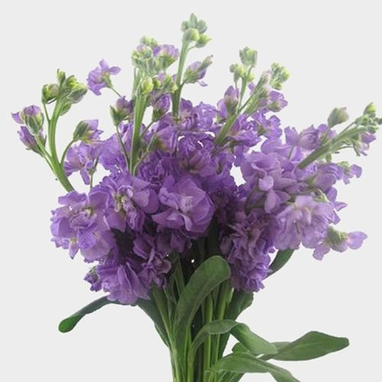 Stock Lavender Flowers Wholesale Blooms By The Box