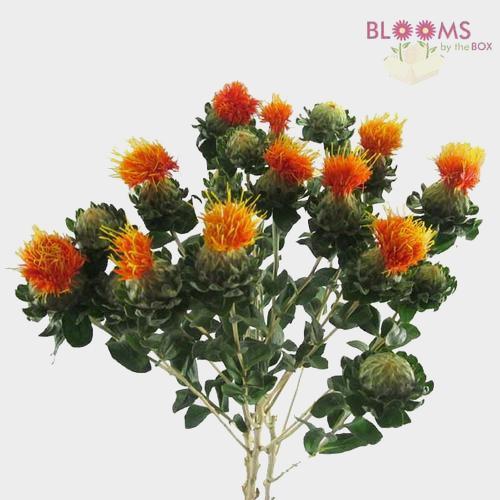 Safflower Orange  Flowers