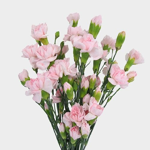 Mini Carnations Pink Flowers
