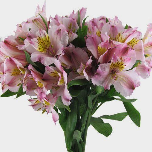 Pink Alstroemeria Flower