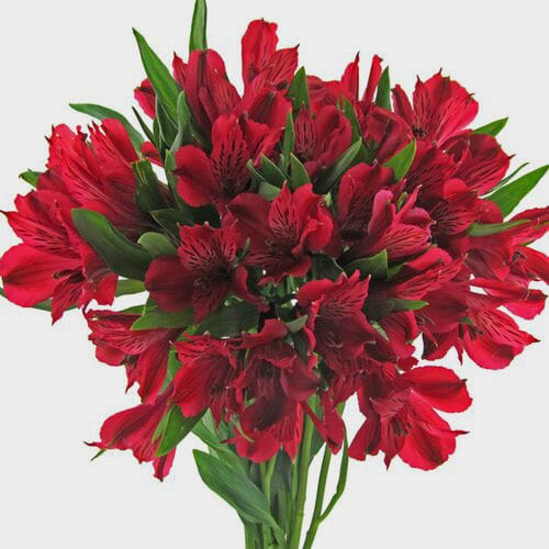 Red Alstroemeria Flowers
