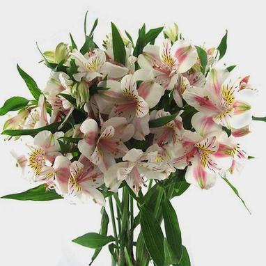 White Alstroemeria Flower Whole