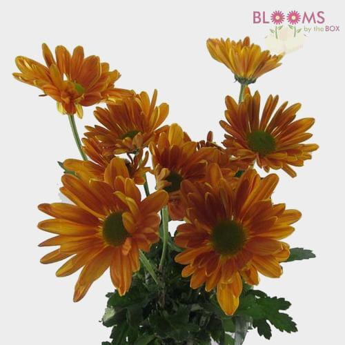 Pompon Daisy Bronze Flowers