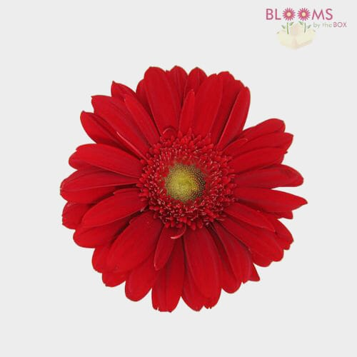 Mini Gerbera Daisy Red Flowers