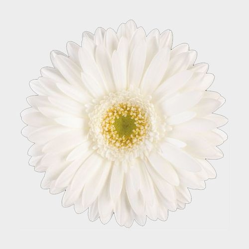 Gerbera Daisy White Flower