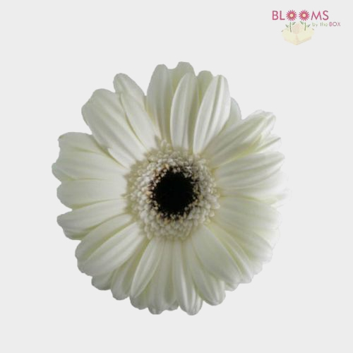 Mini Gerbera Daisy White Flowers