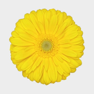 Image result for yellow gerbera daisy