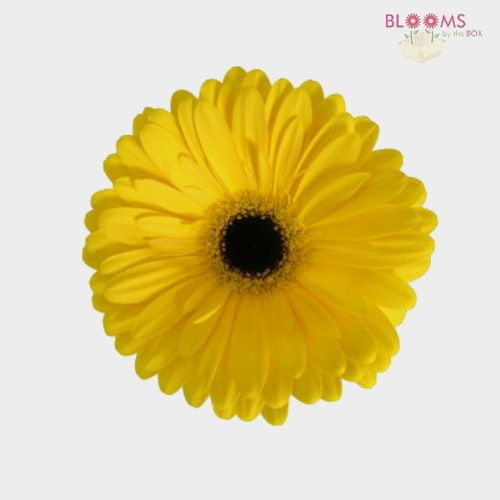 Mini Gerbera Daisy Yellow Flowers