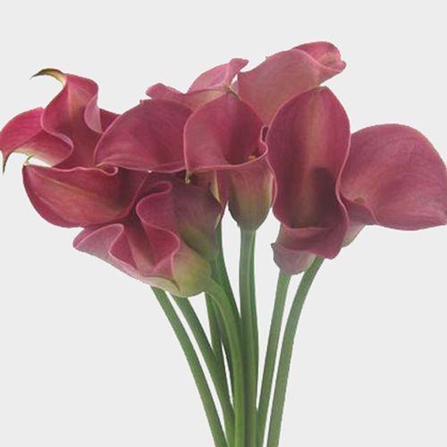 Calla Lily Mini Pink Flower