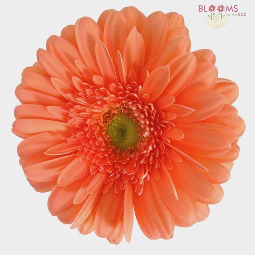 Gerbera Daisy Peach