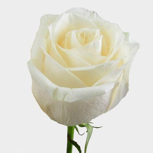 Rose Vendela Cream 50cm