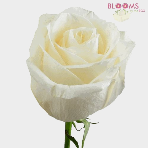Rose Vendela Cream 50cm