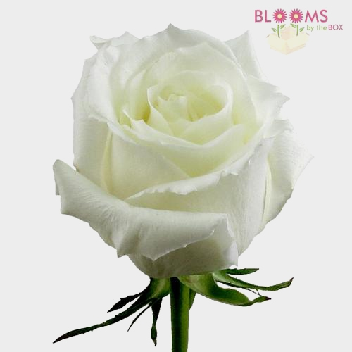 Rose Eskimo White 50cm