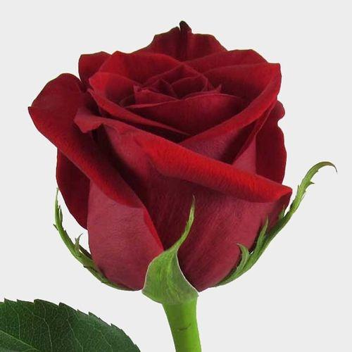Rose Freedom Red 60 Cm