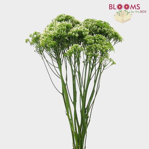 Trachelium White Flower