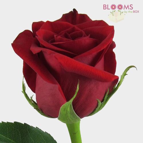 Red Rose Freedom 60 cm.