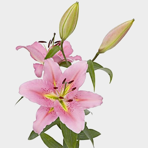 Lily Pink 3-5 Blooms