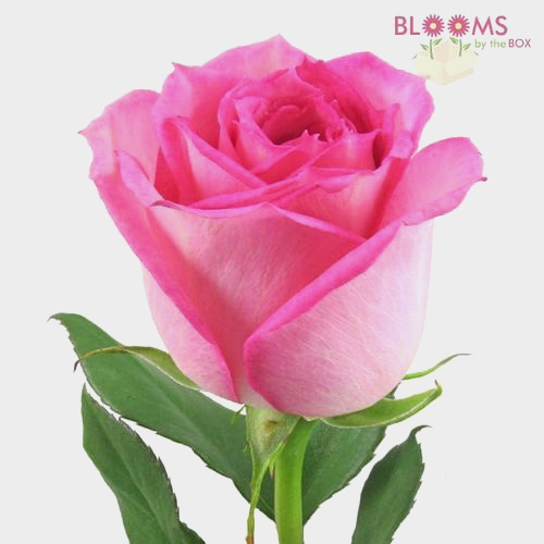 Rose Sweet Unique Soft Pink 50cm