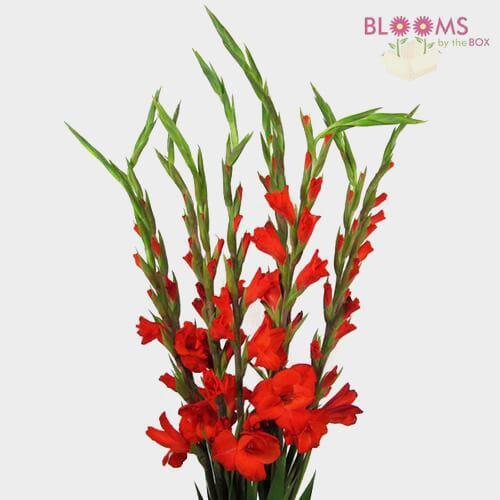 Gladiolus Fancy Red Flower