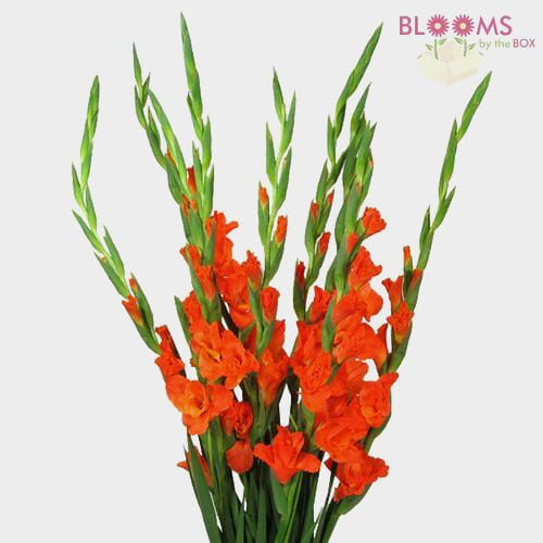 Gladiolus Fancy Orange Flowers