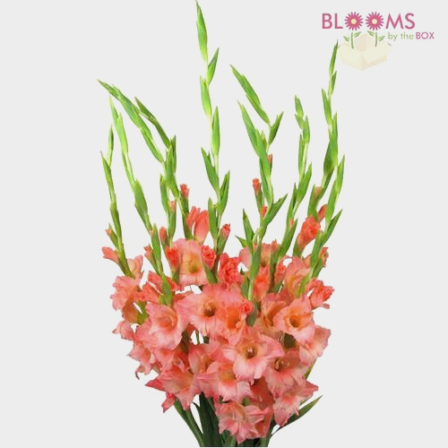 Gladiolus Fancy Peach Flower