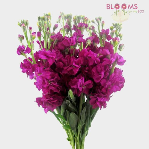 Stock Deep Pink / Fuchsia Flowers