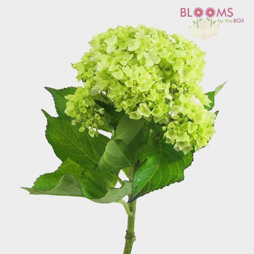 Mini Hydrangea Green Flower