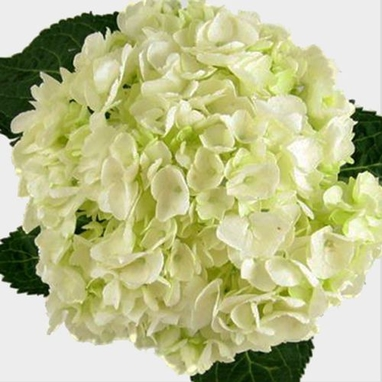 Large Hydrangea White Flower Wholesale Blooms By The Box