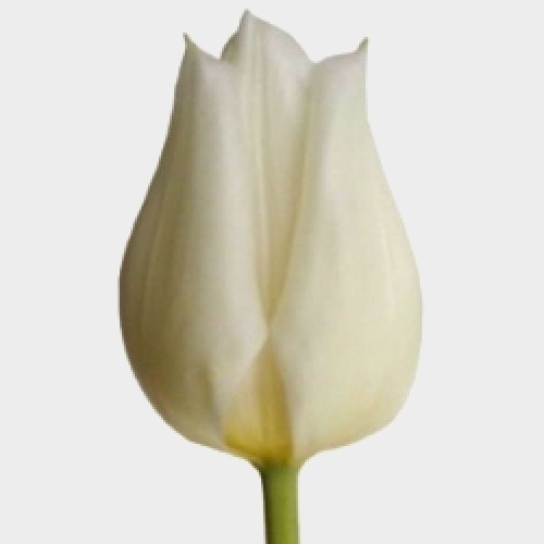 Tulip White Flower