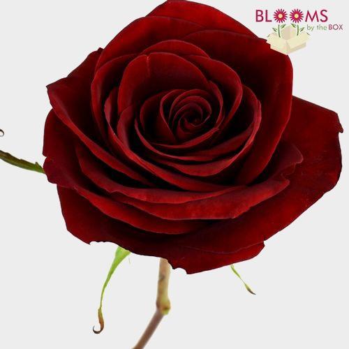 Rose Black Magic Dark Red 60cm