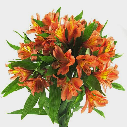 Orange Alstroemeria Flower